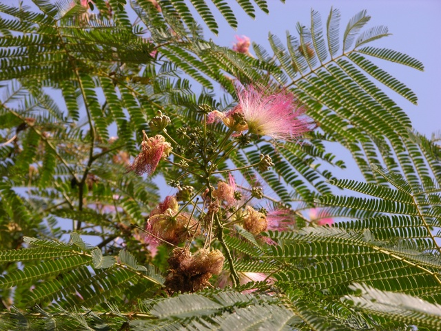 Pink siris (Albizia julibrissin) Biopix photo  image 28341