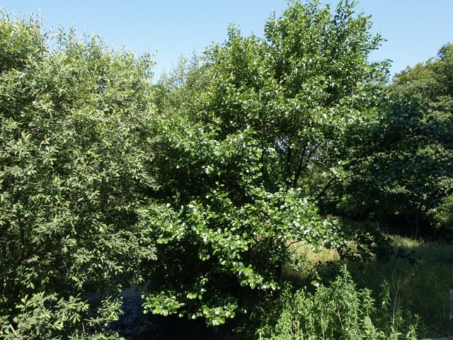 Alder (Alnus glutinosa) photo