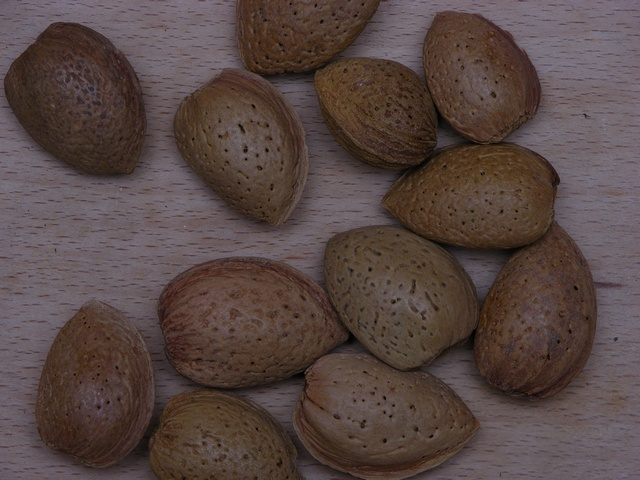 Almond (Prunus amygdalus) photo
