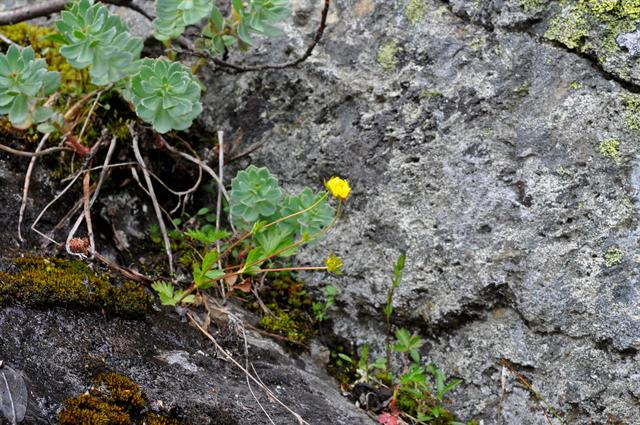 Alpine Cinquefoil (Potentilla crantzii) photo
