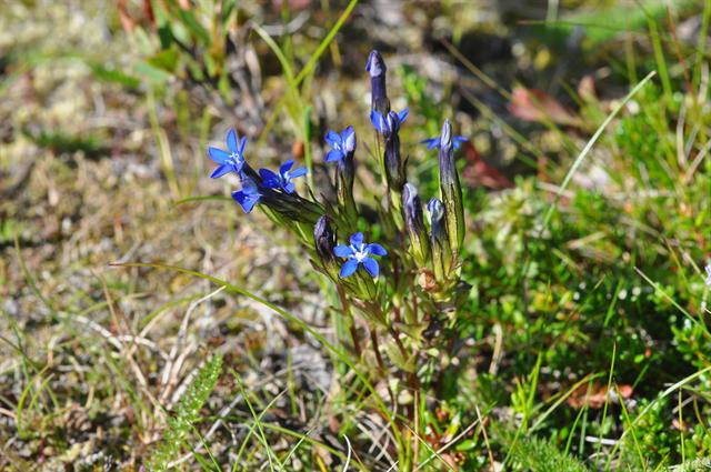 Alpine Gentian, Small Gentian (Gentiana nivalis) photo