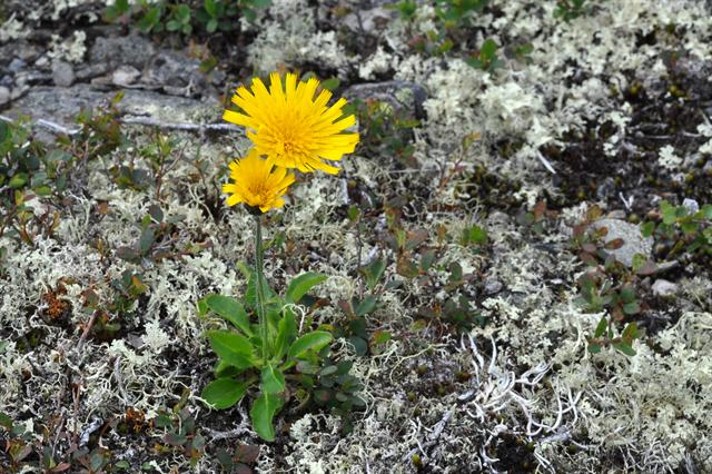 Alpine Hawkweed (Hieracium section alpina) photo