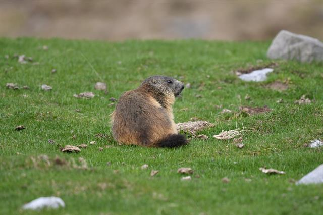 Alpine Marmot (Marmota marmota) photo