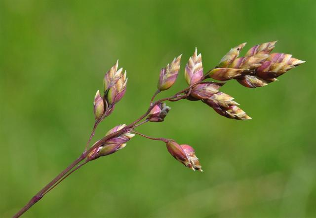 Alpine Meadow-Grass (Poa alpina) photo