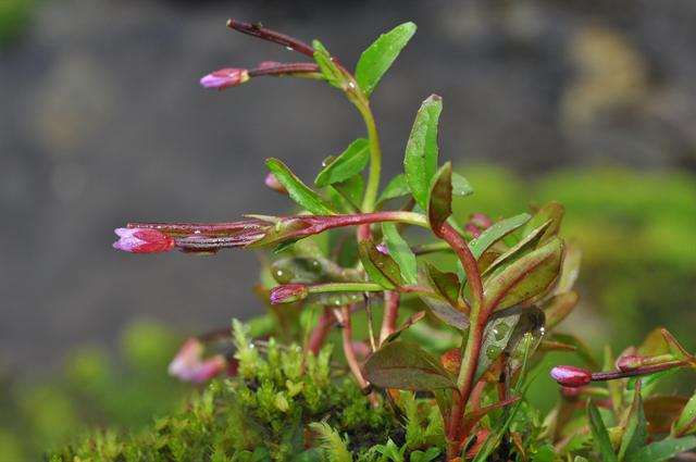 Alpine Willowherb, Pimpernel-leaved Willowherb (Epilobium anagallidifolium) photo
