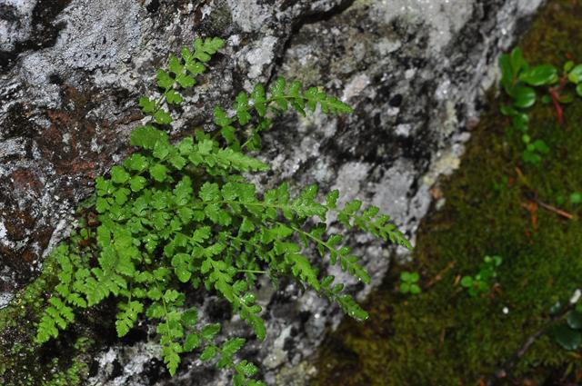 Alpine Woodsia (Woodsia alpina) photo