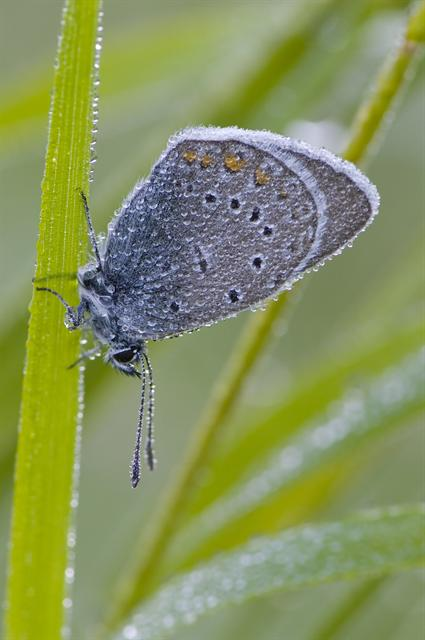 Amanda´s Blue (Polyommatus amandus) photo
