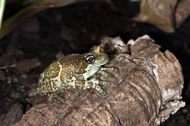 Amazonian Milk Frog (Phrynohyas resinifictrix) photo