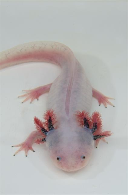 Ambystoma mexicanum