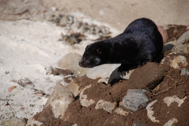 American Mink (Mustela vison) photo