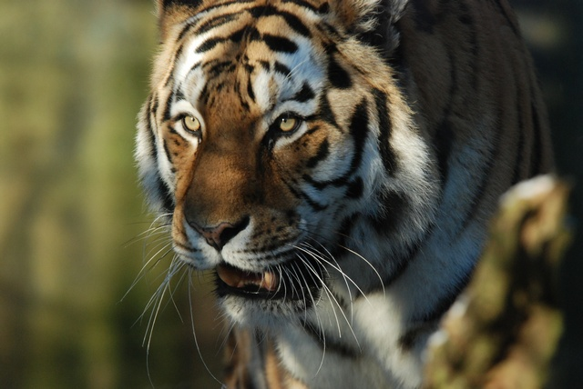 Amur Tiger, Siberian Tiger (Panthera tigris altaica) photo