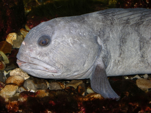 Wolf-fish, catfish (Anarhichas lupus)