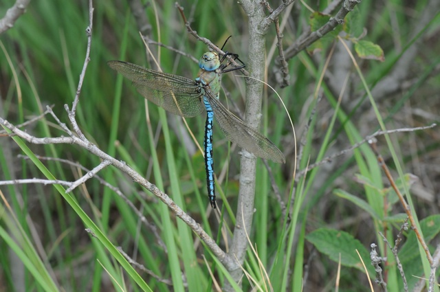 Emperor Dragonfly (Anax imperator)