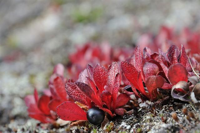 Mountain Bearberry (Arctostaphylos alpinus)