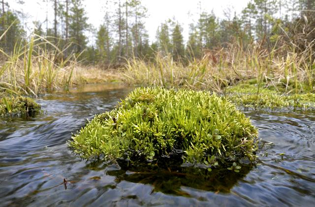 River Feather-moss (Brachythecium rivulare)