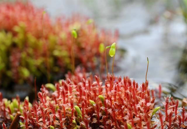 Weigel´s Bryum Moss (Bryum weigelii)