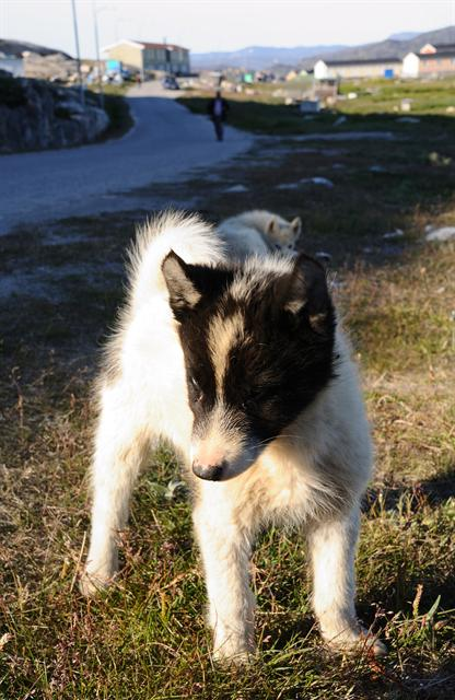 Greenland Dog (Canis lupus familiaris (Greenland husky))