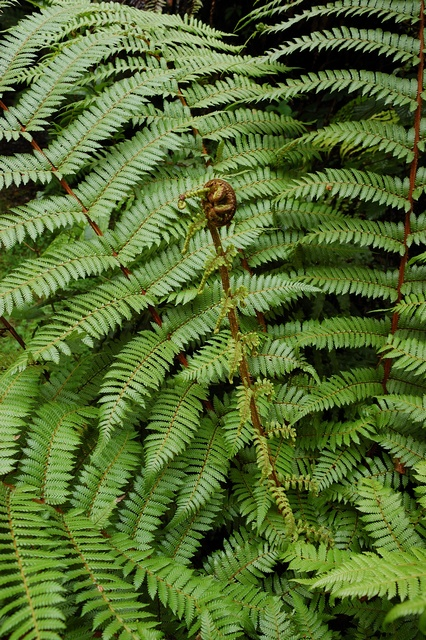 New Zealand tree fern (Dicksonia squarrosa)