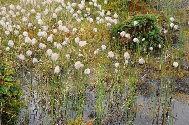 Red Cottongrass (Eriophorum russeolum)