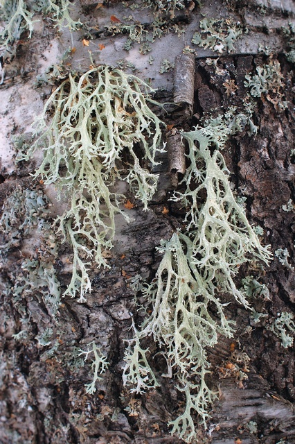 Oakmoss lichen (Evernia prunastri)