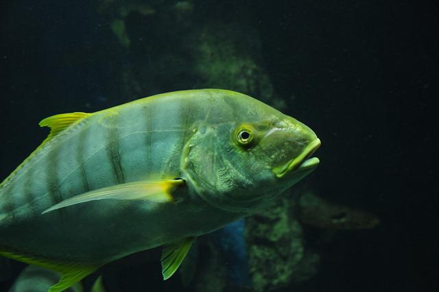 Golden trevally (Gnathanodon speciosus)