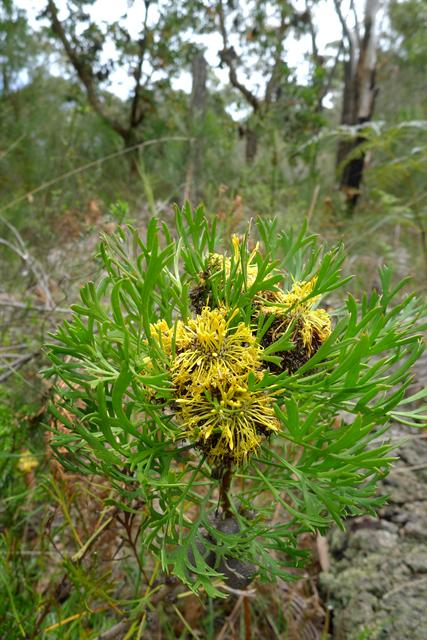 Narrow-leaved Drumsticks (Isopogon anethifolius)