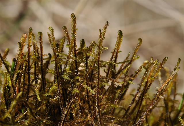 Intermediate Hook-moss (Limprichtia intermedia)