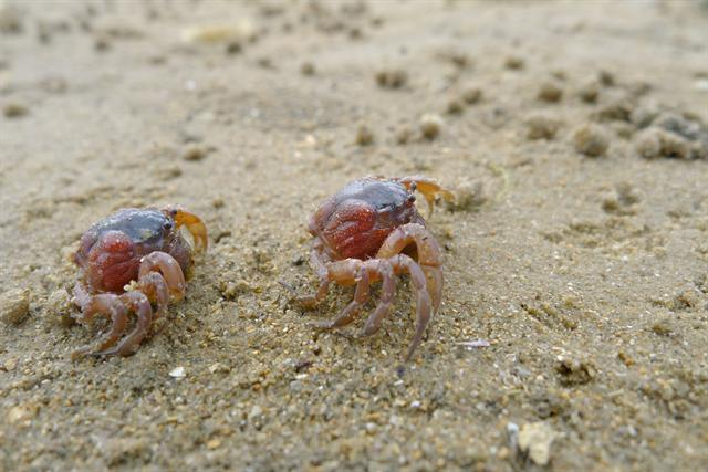Soldier crab (Mictyris platycheles)