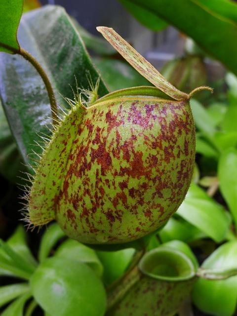 Pitcher plant (Nepenthes ampullaria)