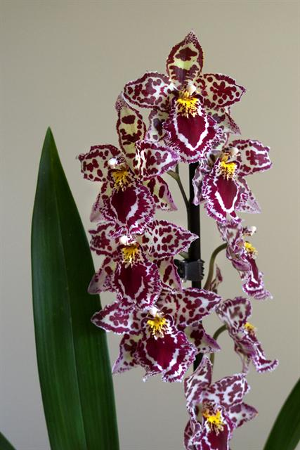 Odontoglossum photo