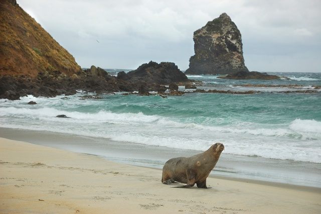 Hooker, New Zealand sea lion (Phocarctos hookeri)