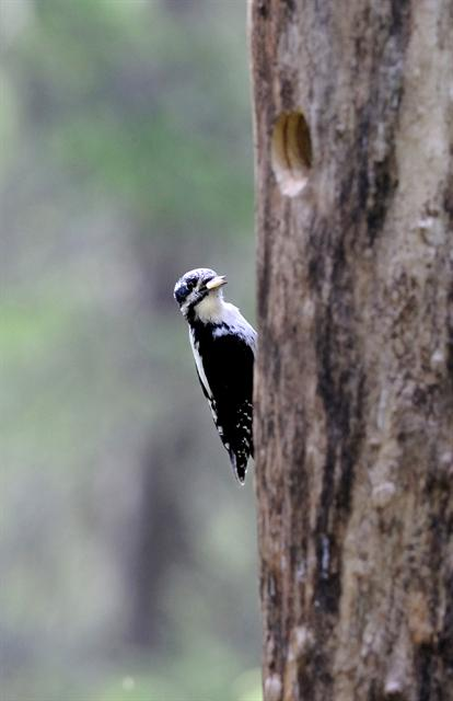 Three-toed Woodpecker (Picoides tridactylus)