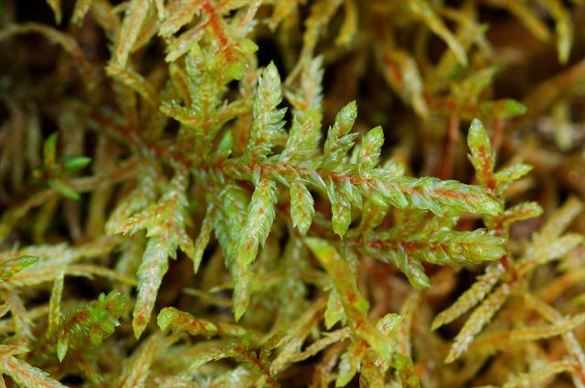 Red-stemmed Feather-moss (Pleurozium schreberi)