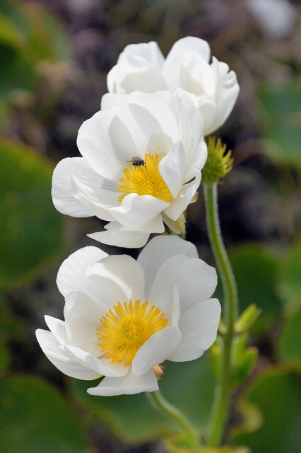 Mount Cook Lily, Mount Cook Buttercup, Mountain Buttercup (Ranunculus lyallii)