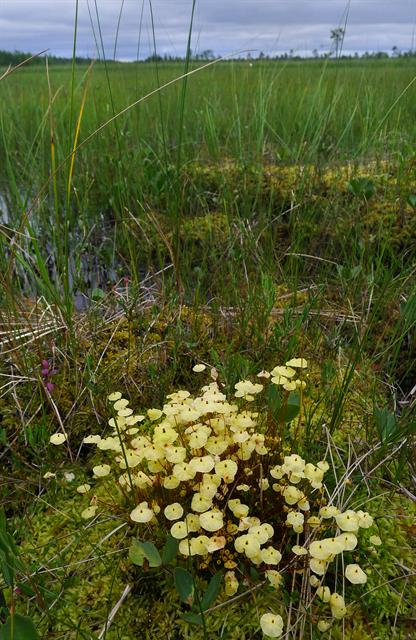 Yellow moosedung moss (Splachnum luteum)
