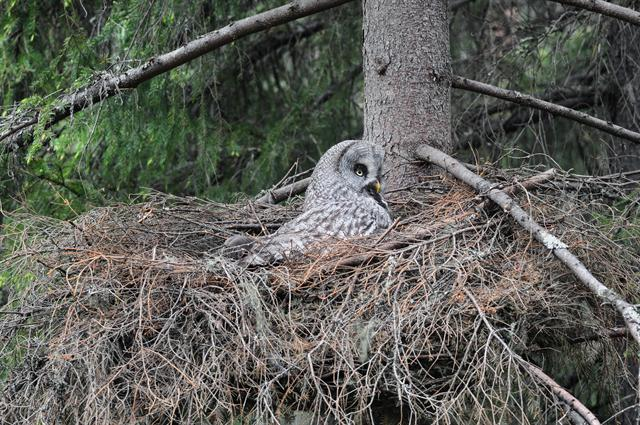 Great Grey Owl, Great Gray Owl (Strix nebulosa)