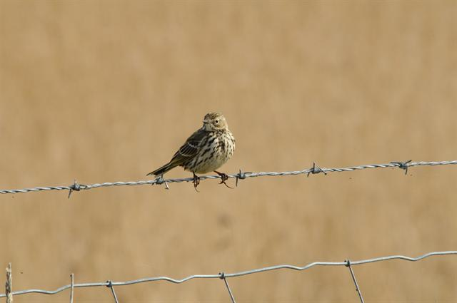 Meadow Pipit (Anthus pratensis)