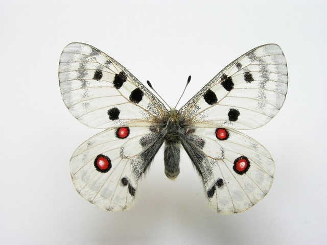 Apollo (Parnassius apollo) photo
