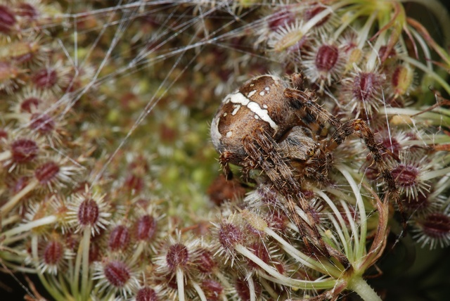 European Garden Spider, Cross Spider (Araneus diadematus)