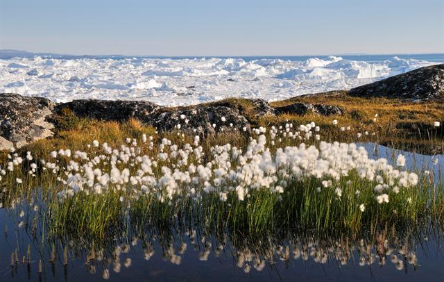 Arctic Cottongrass (Eriophorum scheuchzeri) photo