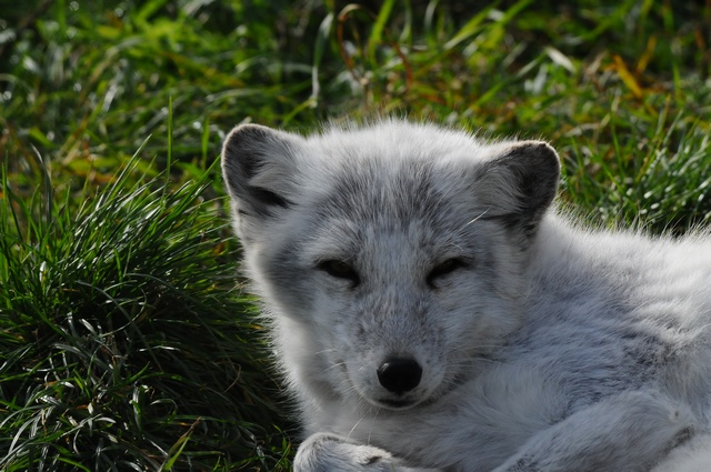 Arctic Fox, Polar Fox (Alopex lagopus) photo