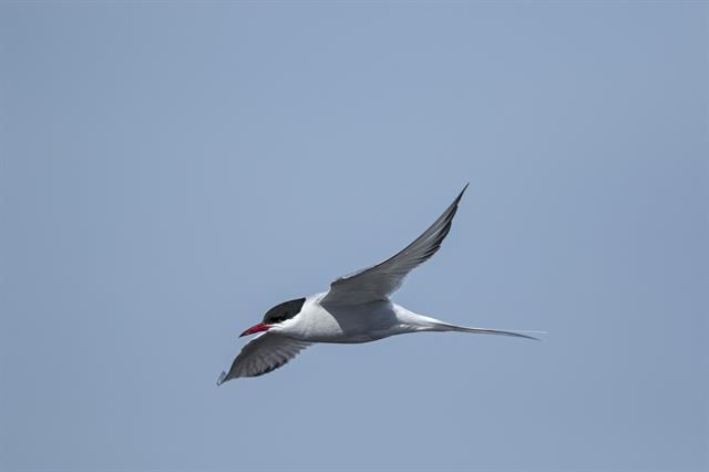 Arctic Tern (Sterna paradisaea) photo