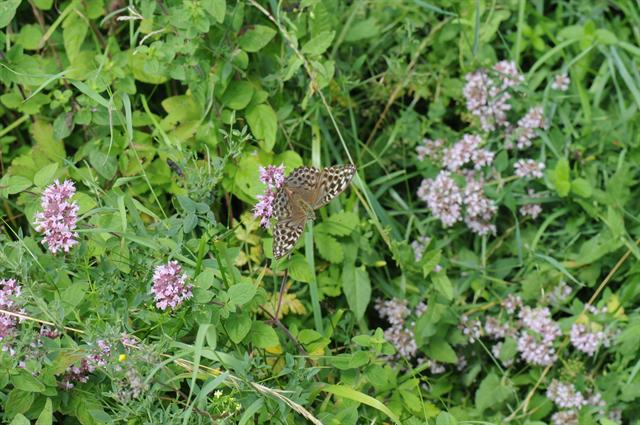 Silver-washed Fritillary (Argynnis paphia)