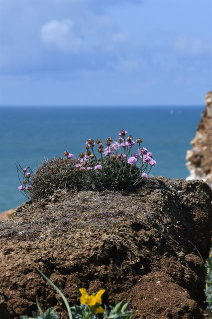Thrift / Sea Pink (Armeria maritima)