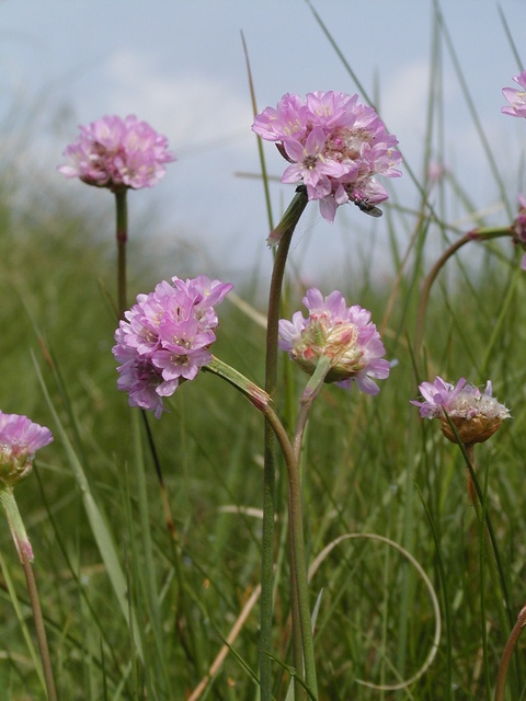 Armeria maritima ssp. elongata photo