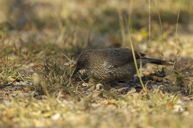 Arrow-marked Babbler (Turdoides jardineii) photo