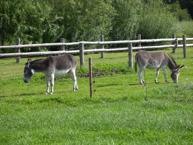 Ass, Donkey (Equus asinus) photo