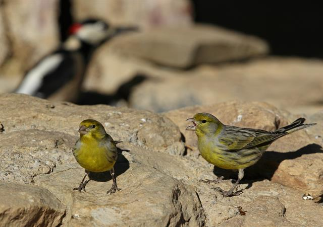 Atlantic Canary (Serinus canaria) photo