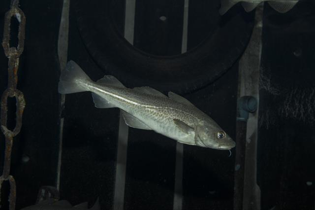 Atlantic cod (Gadus morhua) photo