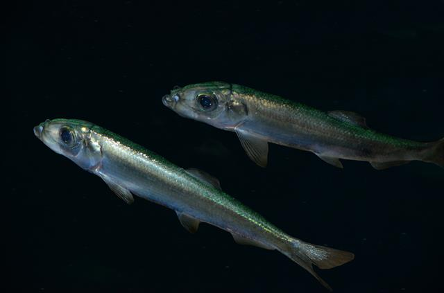 Atlantic herring (Clupea harengus) photo